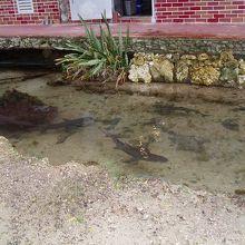 池を泳ぐサメの姿がシュール