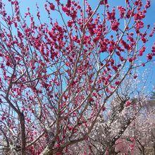 梅がきれい〜