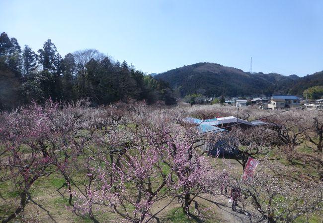 沢山の梅の花