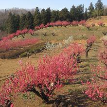 元石川 花桃の丘