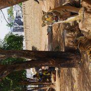 トラと触れ合える!タイガーテンプル