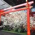 1ヶ月かけて桜の花が開きました