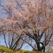 例年より遅れて桜はまだまだ