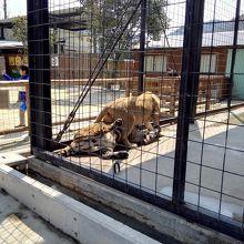 トラとライオンが取っ組み合い?