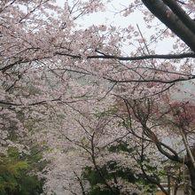 参道の桜は満開