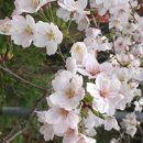 桜の山桜華園