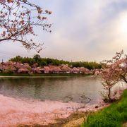 城下町に 桜の花びらが 池に 重なり合って 素敵な景色です!