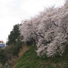中央線脇の土手の桜