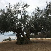 千年の歴史も感じられるオリーブの木