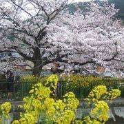 桜と菜の花の織りなす見事な光景