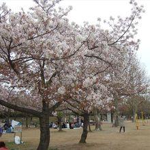 伊丹の桜の名所の公園です。