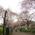 写真:京都府緑化センターのしだれ桜