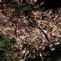 写真:通り抜けの桜