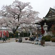 桜の名所の大光寺。満開でした。立派な桜の木は必見。
