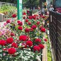 都電荒川線沿いのバラが満開になりました♪ 2017.05.20