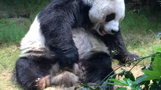 かわいいジャイアントパンダもいます