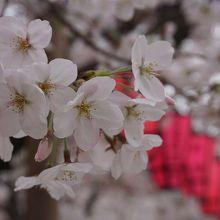 桜スポット。