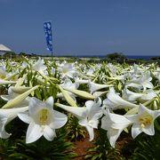 GWの伊江島、ユリが満開でした