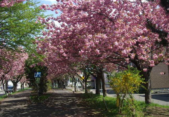 まさに百花繚乱!春のサイクリングロード