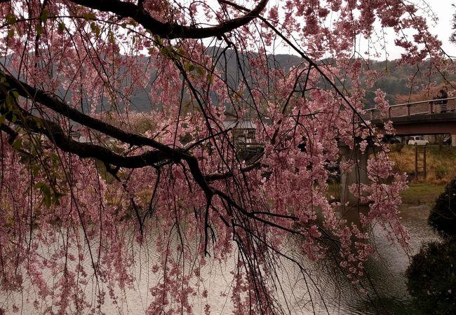 五十鈴川 桜まつり