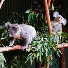 コアラはいきいきとしていて木をジャンプで飛んだりしてます
