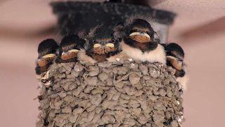 ツバメが巣を作っていました