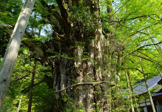 樹齢1000年以上の大イチョウ
