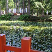 池一面に蓮の葉が・・・