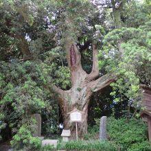 御神木のマキの木