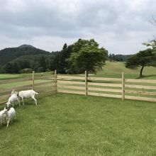 ゴルフ場でヤギさんに会えるとは。