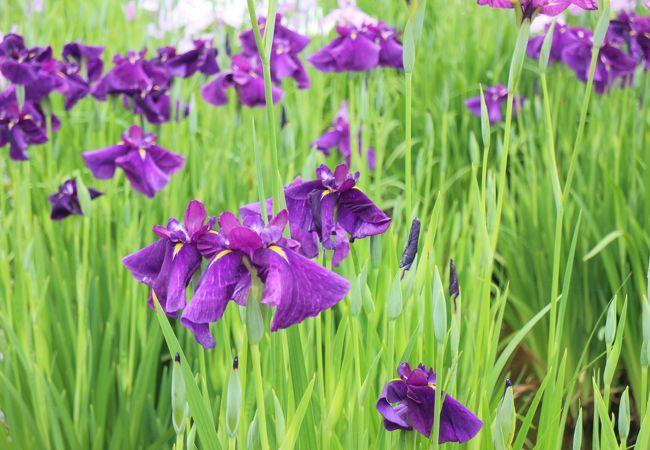 朝の水元公園で花菖蒲を見る