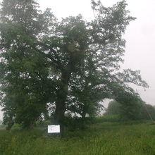ハルニレの木の様子