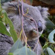 コアラだっこしました。