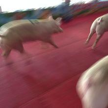 豚レースもやってます