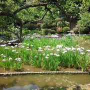 吉香公園の菖蒲は有名