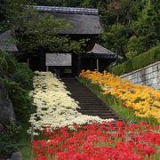 横浜で彼岸花といえば新羽の西方寺が一押し