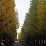 久しぶりに訪れて、いちょう並木の木々が大きくなっていて驚きました