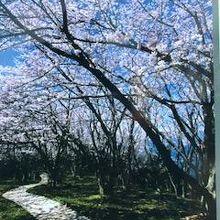 桜が満開なら綺麗だと思います