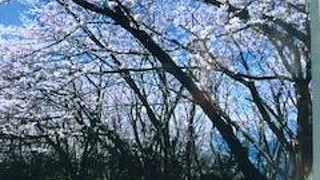 瀬戸内海は綺麗ですが、桜が咲いていないと寂しい所