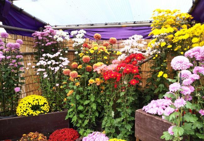 日比谷公園の菊花大会