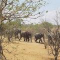 象の大きな群れの行列を見ました
