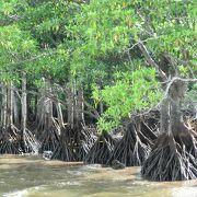 干潮の頃にはマングローブの特徴的な根っこが見られます
