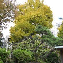銀杏の木より低い頂上