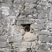 石垣の排水溝から顔を出したイグアナ