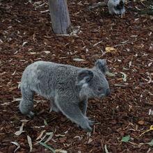 地上を歩くコアラ