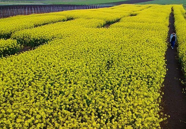 一面の菜の花畑