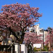 あたみ桜 H30年1月30日 8分咲き