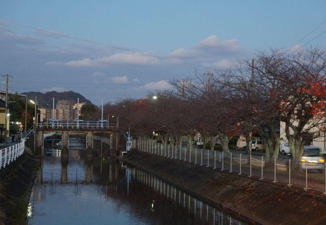 小石川堤の桜
