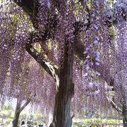 素晴らしい藤の花です