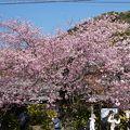 河津桜まつりに行ってきました!